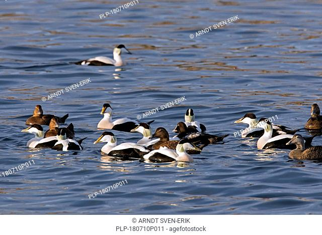 Common eider (Somateria mollissima) flock with males and females swimming in sea
