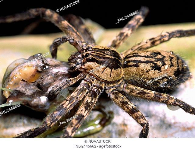 Close-up of Wolf Spider, Costa Rica