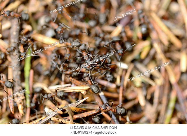 Wood ants on a anthill