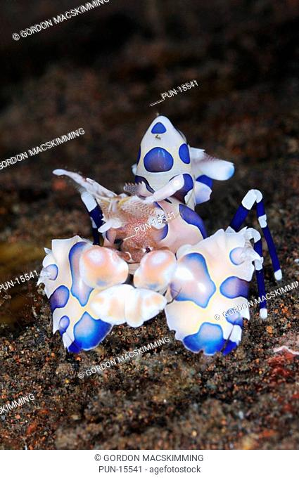 Despite its small size the striking colouration along with oversized pincers make the harlequin shrimp Hymenocera elegans a once seen never forgotten creature...