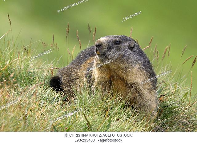 Alpine Marmot (Marmota marmota), Hohe Tauern National Park, Austria