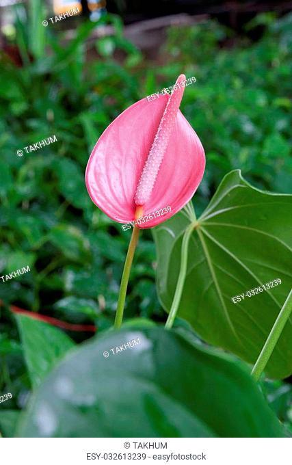 Flamingo Flower or Boy Flower in garden