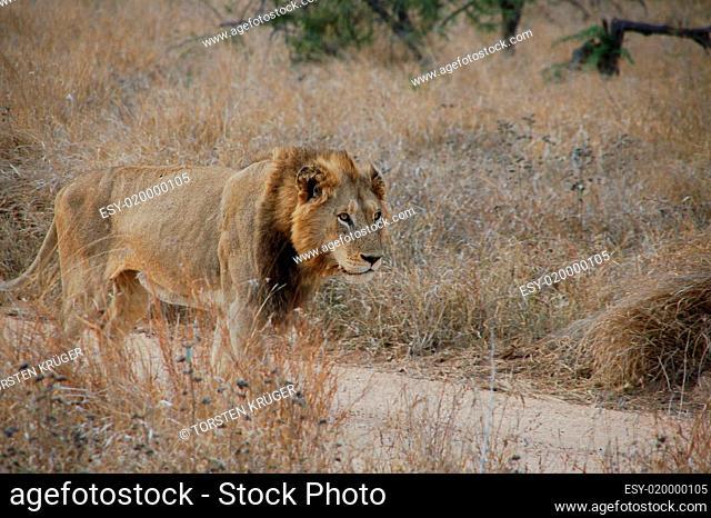 Löwe im Krügerpark