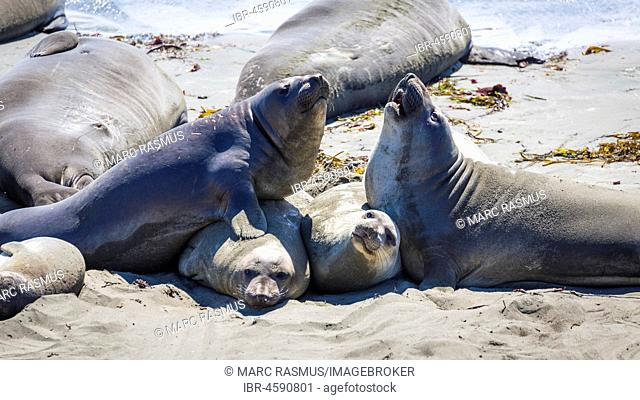 Two Northern Elephant Seals (Mirounga angustirostris) fight on the beach, near San Simeon, California, USA