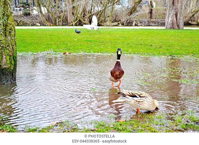 beautiful ducks inside the pond at Vondelpark Amsterdam Holland - travel Europe - european destination