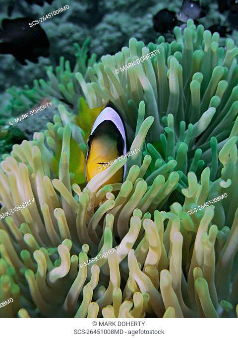 Red Sea anemonefish Amphiprion bicinctus in a Magnificent anemone Heteractis magnifica Anemone City, Sharm El Sheikh, South Sinai, Red Sea, Egypt