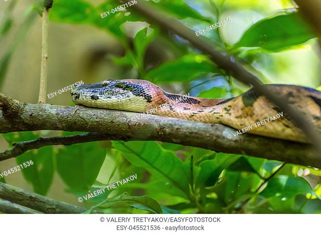 Boa constrictor on branches in a natural environment - Nosy Be Island, Madagascar