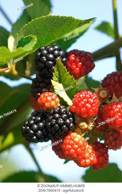Rubus fruticosus Chester Thornless, Brombeere, Blackberry