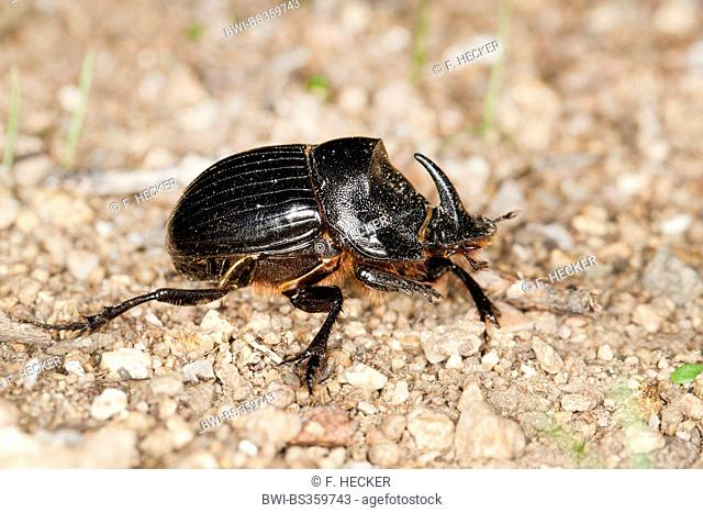 Horned Dung Beetle (Copris hispanus), on the ground
