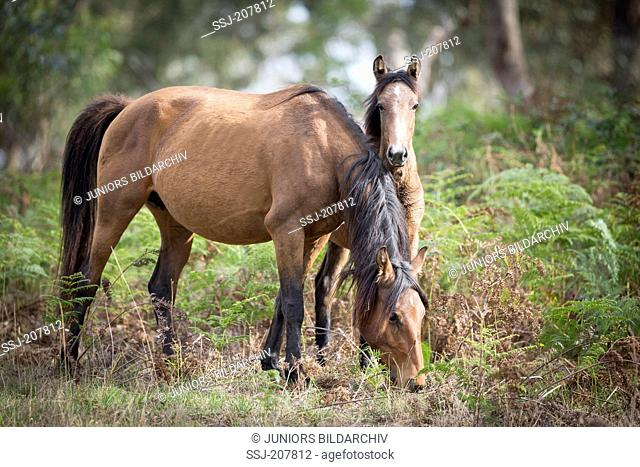 Brumby. Mare with foal, grazing. Australia
