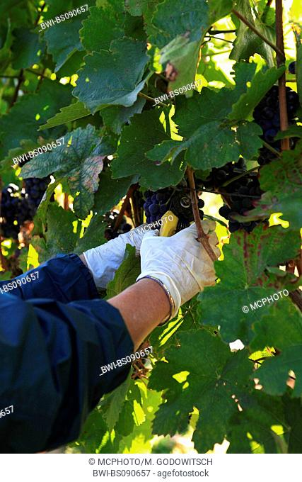 grape-vine, vine (Vitis vinifera), harvesting red wine grapes, Austria, Lower Austria, Elsarn