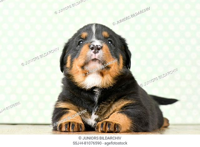 Mixed-breed dog, Rottweiler x Bernese Mountain Dog. Puppy (5 weeks old) lying, seen head-on. Studio picture. Germany