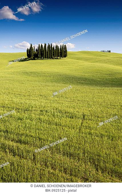Mediterranean Cypresses (Cupressus sempervirens) and a cornfield, Val d'Orcia, near Torrenieri, Province of Siena, Tuscany, Italy