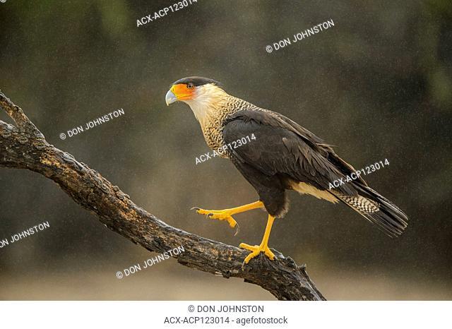 Crested Caracara (Caracara plancus), Santa Clara Ranch, Starr County, Texas, USA
