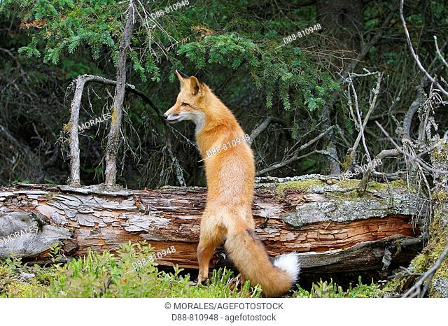 Red Fox (Vulpes vulpes), young