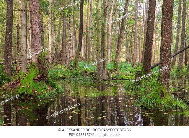 Old alder tree and water around in fall forest with a lot decline wood, Bialowieza Forest, Poland, Europe