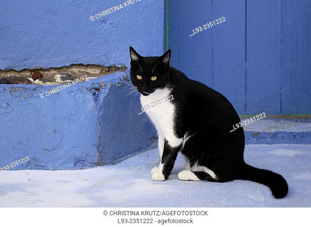Domestic cat (Felis catus) in Oia, Santorini, Greece