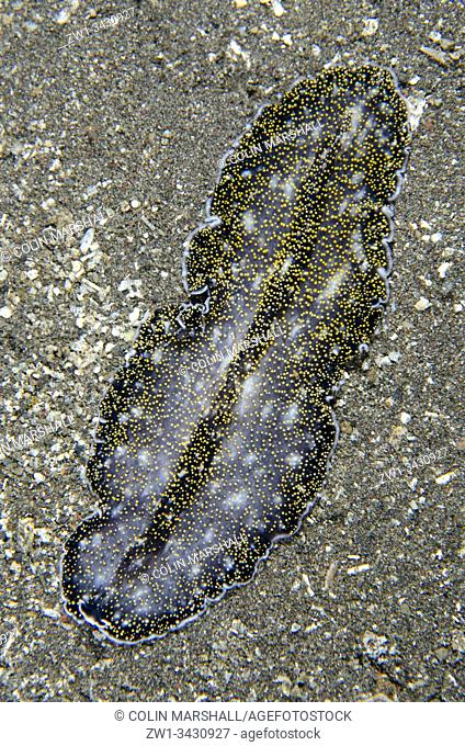 Spangled Flatworm (Acanthozoon sp, Pseudocerotidae Family), night dive, Pyramids dive site, Amed, Bali, Indonesia, Indian Ocean