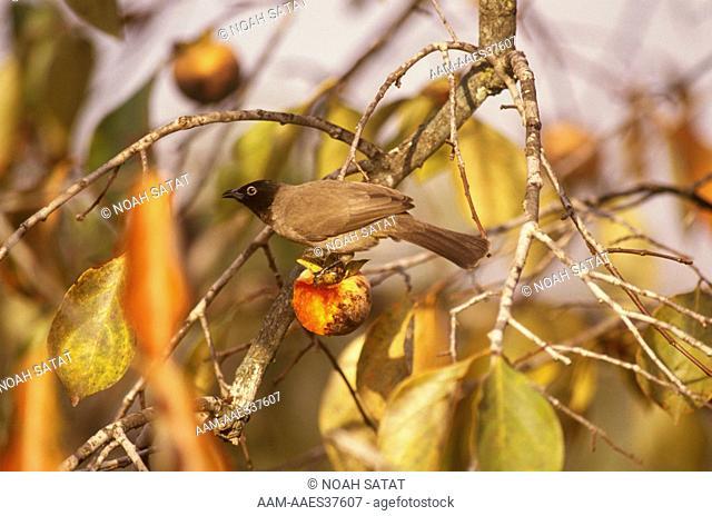 Common Bulbul (Pycnonotus barbatus) Hadera Israel