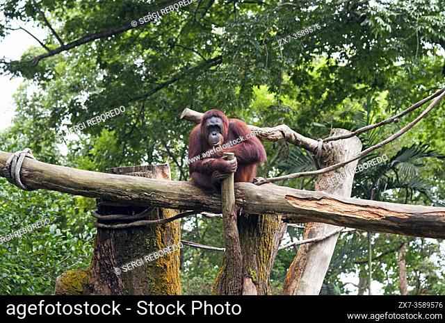 Sumatran Orangutan, Gunung Leuser National Park, Sumatra, Indonesia. Orangutan juvenile, Sarawak, Borneo, Malaysia