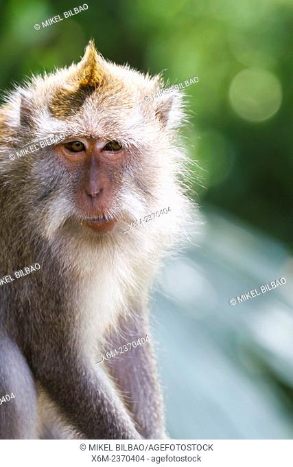 Long-tailed macaque (Macaca fascicularis). Monkey forest. Ubud. Bali. Indonesia, Asia