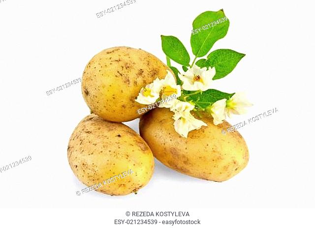 Three yellow potato tuber with a flower and green leaf isolated on white background