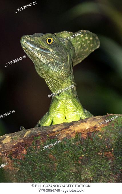 Plumed basilisk (Basiliscus plumifrons) - La Laguna del Lagarto Lodge, Boca Tapada, Costa Rica