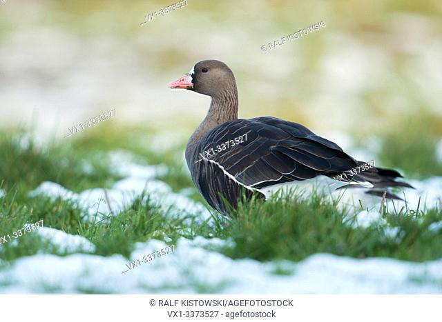 White-fronted Goose / Arctic Goose ( Anser albifrons ) resting on a meadow in winter, snow, wildlife, Europe