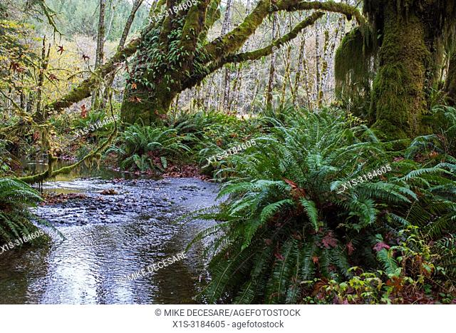 Maple Glade is a Old Growth forest trail in Olympic National Park, in Washington