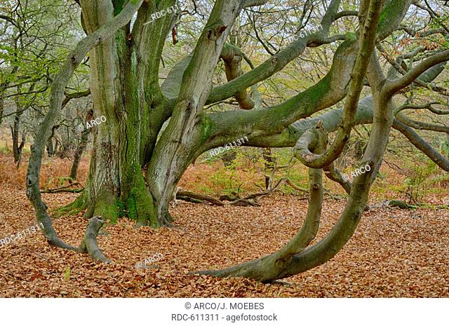 common beech (Fagus silvatica), conservation area primeval forest Sababurg, Beberbeck, Hesse, Germany