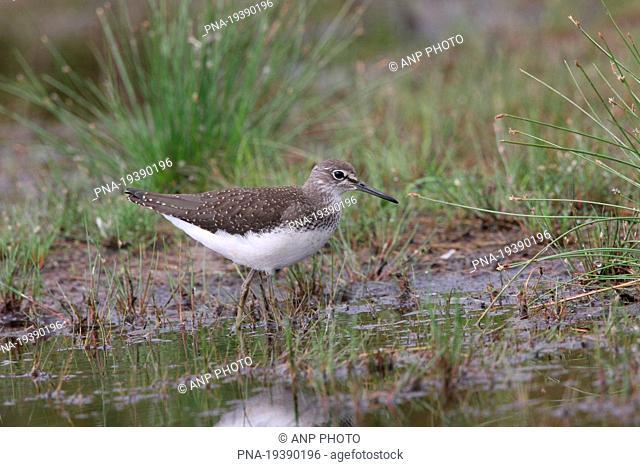 Green Sandpiper Tringa ochropus - Beerzerveld, Ommen, Salland, Overijssel, The Netherlands, Holland, Europe