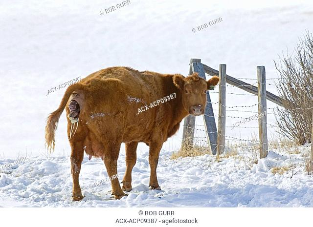 Red Angus Bos taurus Female giving birth to Calf  Cows in this area are usually left outside in winter  If the weather is very cold many Ranchers will move a...