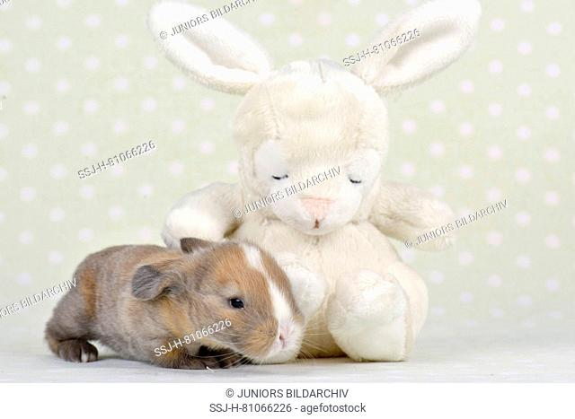 Dwarf Lop-eared Rabbit. Baby (11 days old) next to a plush bunny. Studio picture. Germany