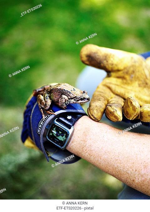 Scandinavia, Sweden, Frog on human hand, close-up
