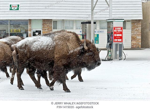 Bison, Winter, Gardner, Montana