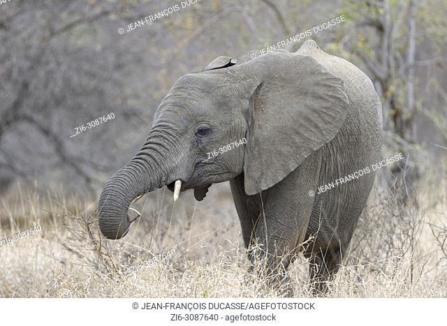 African bush elephant (Loxodonta africana), elephant calf feeding on twig, Kruger National Park, South Africa, Africa