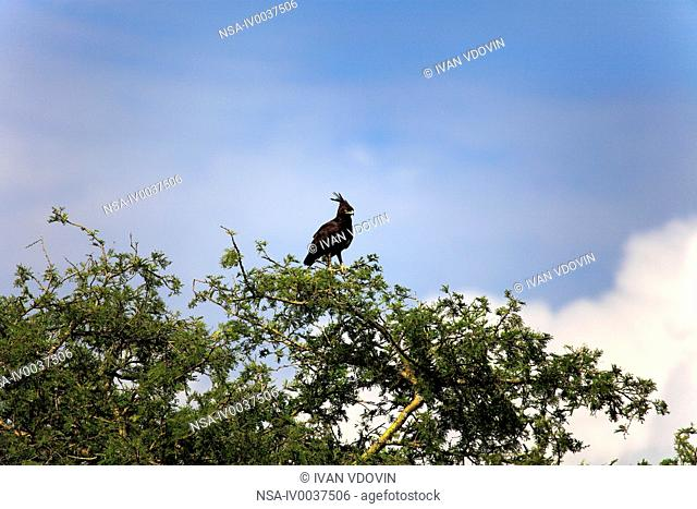 Crested Eagle Morphnus guianensis, Queen Elizabeth National Park, Uganda, East Africa