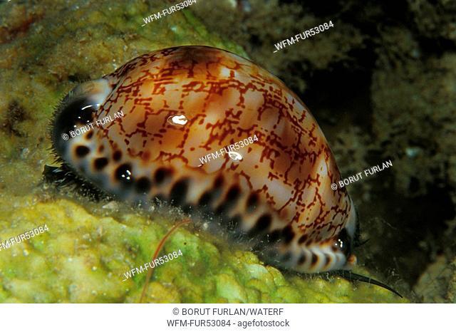 Cowrie Snail, Sharm el Sheikh, Sinai, Red Sea, Egypt