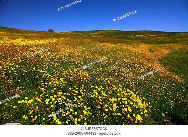 Field of yellow Goldfield flowers, Los Padres National Forest, California, USA