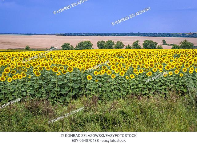 Large field of sunflowers in Moldova