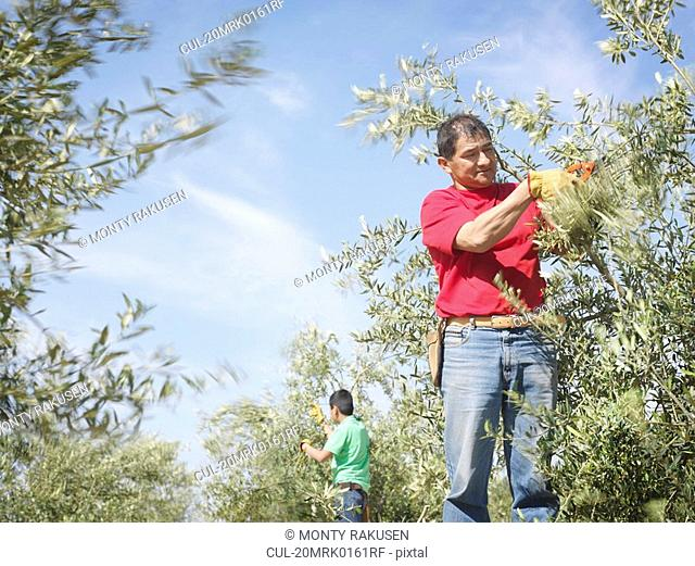 Workers pruning olive trees branches