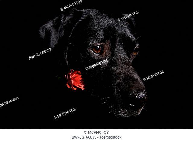 Labrador Retriever (Canis lupus f. familiaris), Black dog with red rose