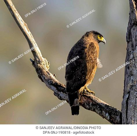 Crested Serpent Eagle Naagarhole national park Karnataka India Asia
