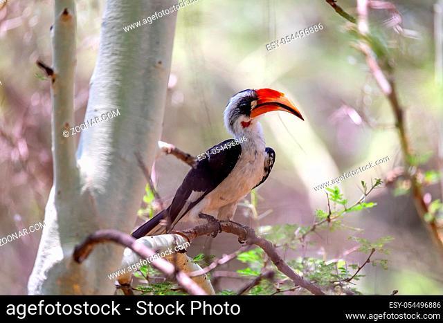 middle sized bird Von der Decken's Hornbill on tree. Tockus deckeni, Lake Chamo, Arba Minch, Ethiopia wildlife