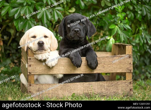 Yellow and Black Labrador puppies sitting in crate outside Yellow and Black Labrador puppies sitting in crate outside