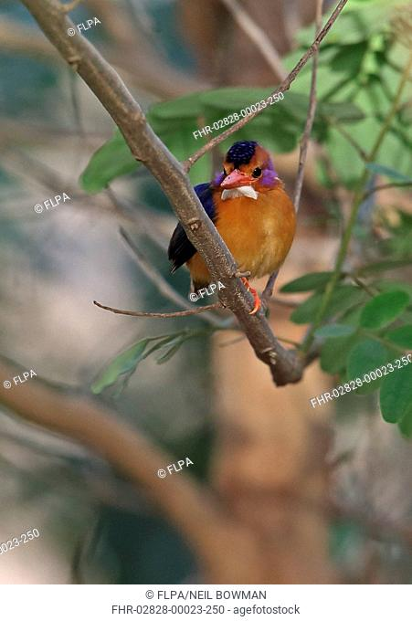 African Pygmy Kingfisher (Ispidina picta) adult, perched on branch, Mole N.P., Ghana, February