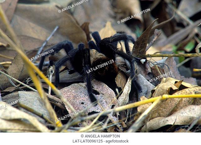 Close up. Large black spider