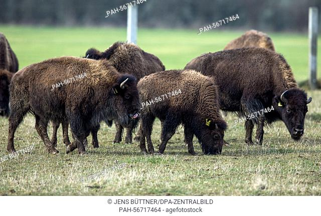 A herd of bisons roam across a paddock near Zuehr, Germany, 3 March 2015. Bisons and wisents traditionally inhabited the greate plains in North Amerika