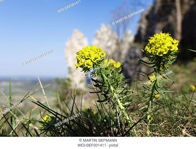 Germany, Bavaria, Franconia, Franconian Switzerland, Walberla, Close up of cypress spurge