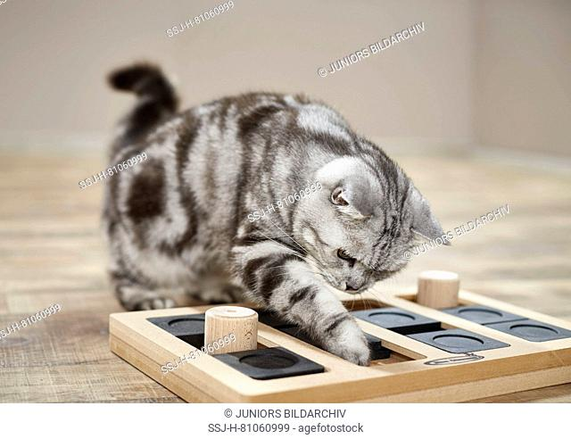 British Shorthair cat. Tabby adult playing with food-dispensing labyrinth game. Germany